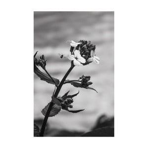Obraz Black&White Flower, 45 x 70 cm