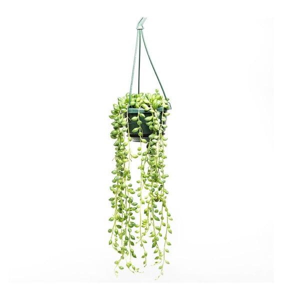 Závesný kvetináč s rastlinou String of Peas