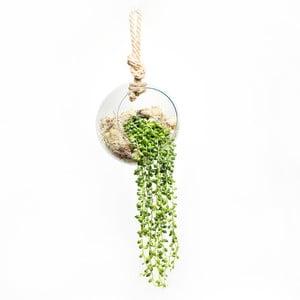 Závesné terárium s rastlinami String of Peas