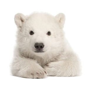 Nástenná samolepka Dekornik Polar Bear, 70 x 76 cm