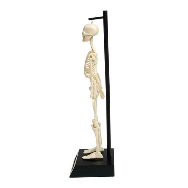 Model kostry Rex London Anatomical
